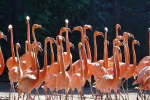 Flamingos bei der Jagd