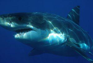 Weisse Haie in der Nordsee