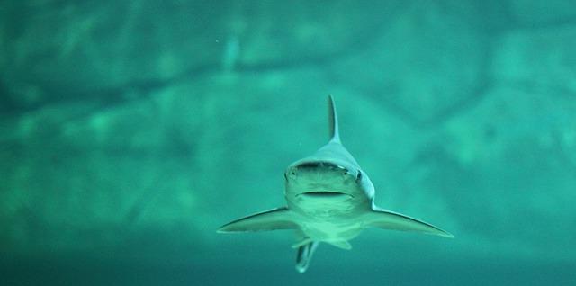 Weisser Hai in der Nordsee