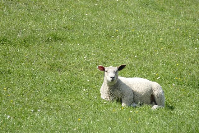 Neues Wappentier Schleswig-Holsteins Das Unabhängigeits-Schaf (liegend)